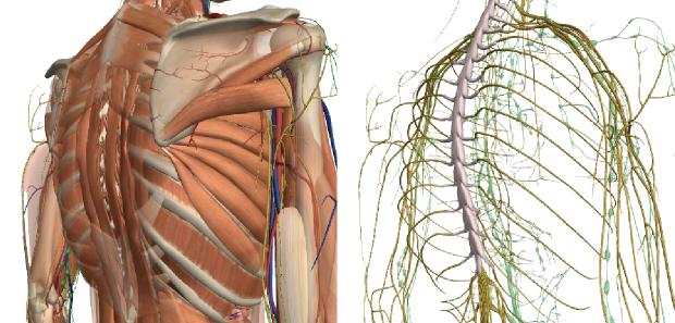 胸の痛み・肋骨の間の痛みの図解
