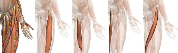 足の付け根や太ももの内側の痛みの図解