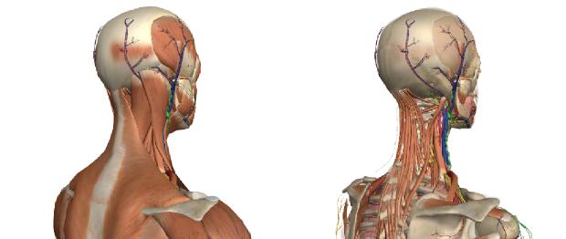 頭痛・偏頭痛の図解